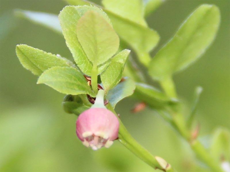 blåbär1